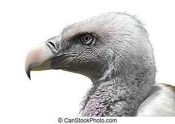 Portrait of vulture
