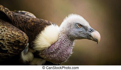 Portrait of Vulture
