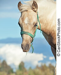 portrait of welsh pony foal in the pasture