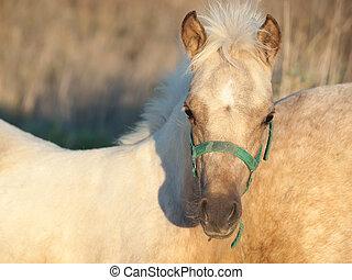 portrait of welsh pony foal .sunny evening - portrait of...