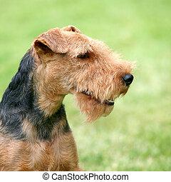 Portrait of Welsh Terrier
