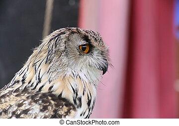 Portrait of western Siberian eagle-owl (Bubo bubo sibiricus...