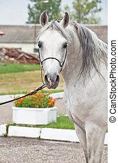 portrait of white arabian horse