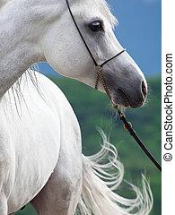 portrait of white arabian stallion.