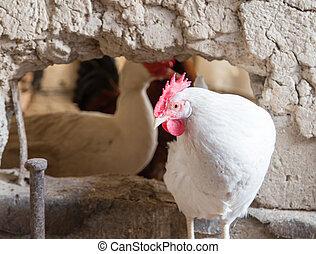 portrait of white chicken farm