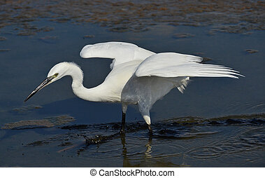 portrait of white egret fishing in the marsh