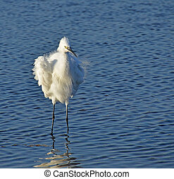 portrait of white egret in the lake