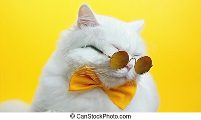 Portrait of white furry cat in fashion sunglasses and bowtie. Luxurious domestic kitty in glasses poses on yellow wall background. Studio footage 4k