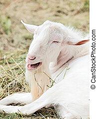 portrait of white Goat against hay