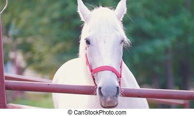 Portrait of white horse standing over the fence, close up