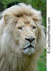 Portrait of white lion