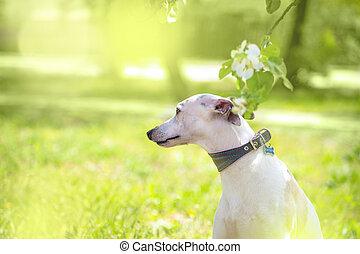 Portrait of white little dog in spring blossom