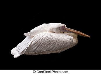 Portrait Of White Pelican