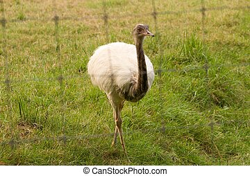Portrait of white rhea AMERICANA through a wire fence - ...