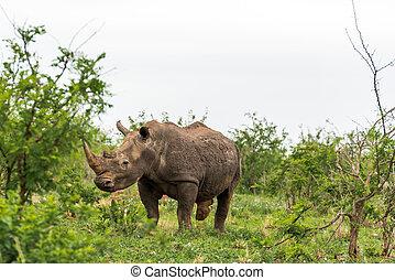 Portrait of white rhino in an open field in South Africa