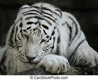 Portrait Of White Tiger,Close Up Shot