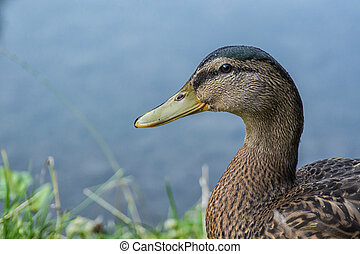 Portrait of wild duck with a pond