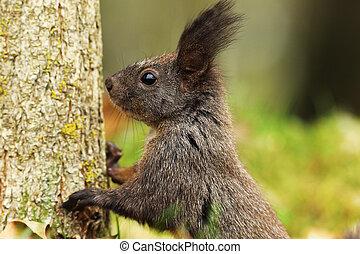 portrait of wild european squirrel