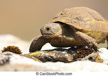 portrait of wild greek turtoise