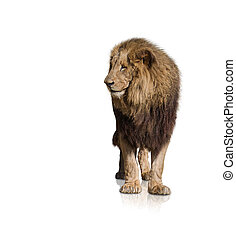 Portrait Of Wild Lion Isolated On White Background