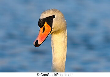 portrait of wild mute swan