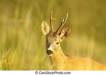 portrait of wild roe deer buck