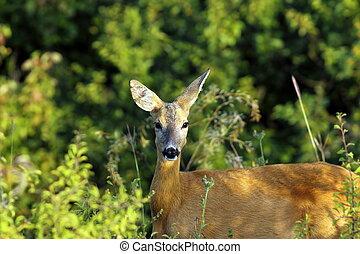 portrait of wild roe deer doe