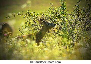 portrait of wild roebuck