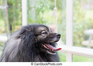 Portrait of Wolf Spitz Dog