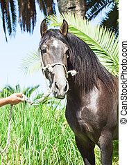 portrait of wonderful Andalusian grey  stallion