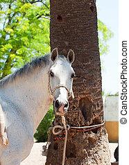 portrait of  wonderful white spanish horse