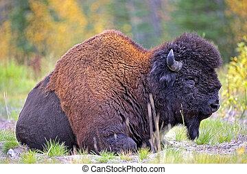 Wood Bison Bull