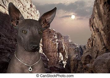Portrait of xoloitzcuintle dog