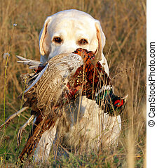portrait of hunting yellow labrador with pheasant