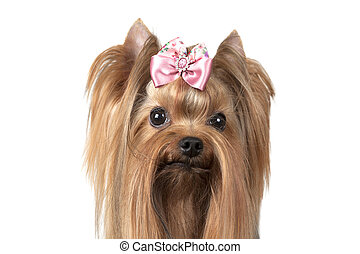 Portrait of Yorkshire terrier dog