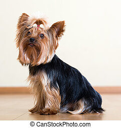 Yorkshire Terrier sitting on  floor