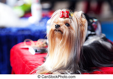 Portrait of Yorkshire terrier with bow sitting on a table