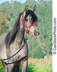 portrait of young arabian filly