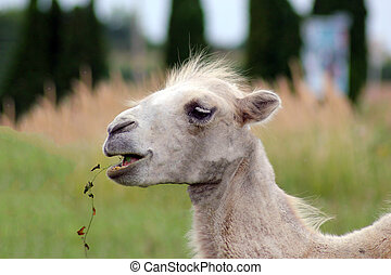 Portrait of young bactrian camel Camelus bactrianus. -...