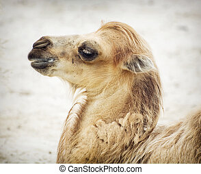 Portrait of young bactrian camel (Camelus bactrianus)....