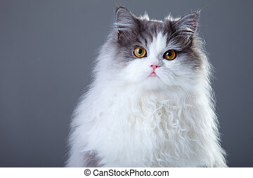 Portrait of young beautiful gray and white persian cat on grey background