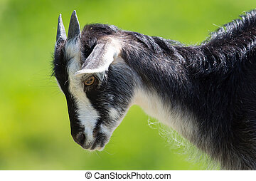 Portrait of young black-white goat