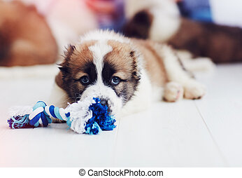 portrait of young caucasian shepherd puppy lying on the floor at home
