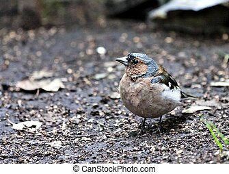 portrait of young Chaffinch