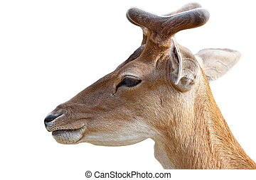 portrait of young deer buck over white