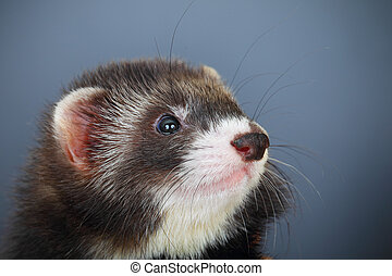 Portrait of young ferret