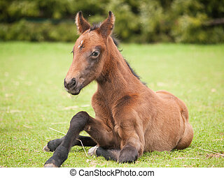 Portrait of young foal of sporthorse trying to stand up