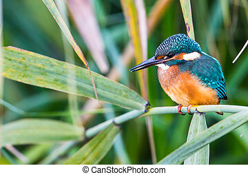 Portrait of young kingfisher (Alcedo atthis) in the sunlight...