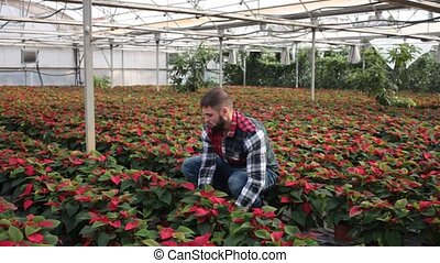 Positive man farmer examining plants of Poinsettia or Christmas flower for better growing in greenhouse