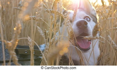 Portrait of young siberian husky muzzle breathing with...